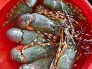 10.000 Anak Lobster Berhasil Diamankan Ditpolair Polda Banten