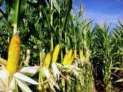200.000 Hektare Lahan Tanam untuk Lumbung Jagung Nasional di Banten