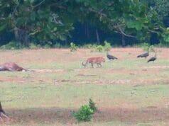 WWF Indonesia Ragukan Foto Harimau Jawa di Ujung Kulon