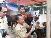 Idul Adha 1440 Hijriah, Jokowi Beli Sapi 1,2 Ton di Tangerang