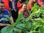 Panen Sayur Mayur di KRPL Kota Tangerang Bersama Wali Kota