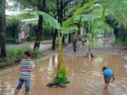 Dibohongi Pengembang, Jalan di Taman Royal Ditanami Pohon Pisang