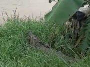 Viral, Beredar Informasi 43 Buaya di Lepas ke Sungai Cisadane Warga Pun Resah